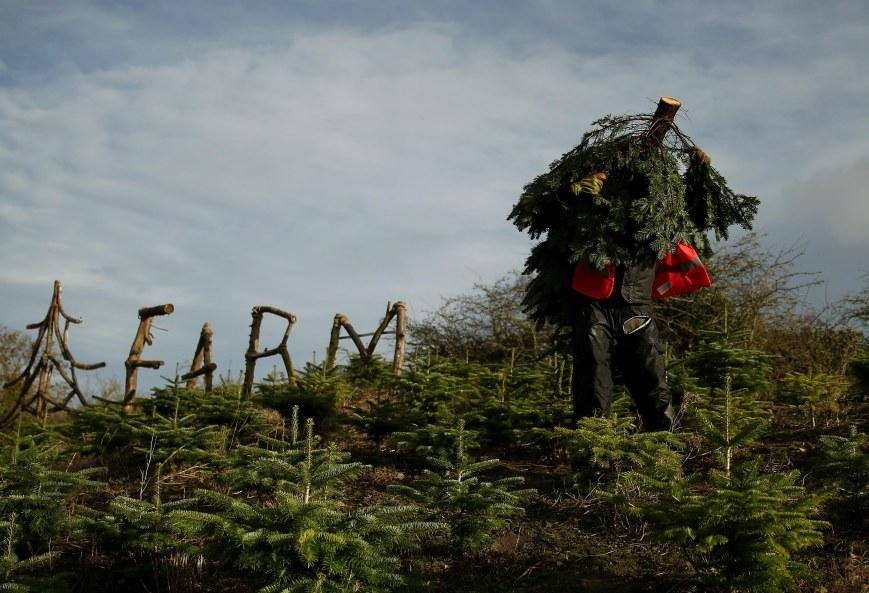 Caulstown Christmas Tree Farm Open to the Public